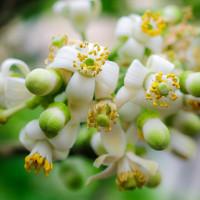 Bài thuốc chữa bệnh từ hoa bưởi tháng 3