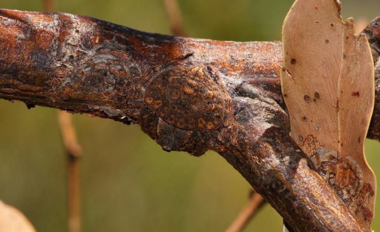 Để thoát khỏi những con chim săn mồi, loài nhện bọc độc đáo này phát triển khả năng ngụy trang đến mức độ cao nhất.