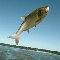 """Cá chép châu Á """"xâm lược"""" các vùng nước ở Canada và Mỹ"""