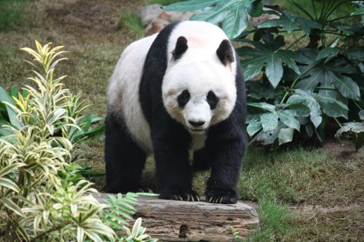 Cơ thể gấu trúc có màu đen và màu trắng.