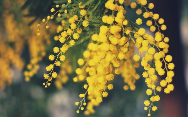Hoa Mimosa vàng
