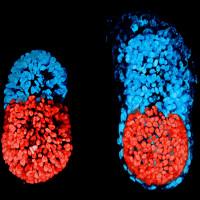 Chế tạo thành công phôi thai nhân tạo đầu tiên trên thế giới