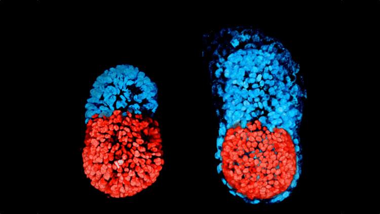 Phôi thai nhân tạo được tạo ra nhờ sử dụng hai loại tế bào gốc.