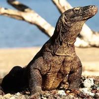 Điều kỳ diệu từ máu rồng Komodo