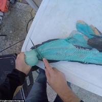 Kinh ngạc khi mổ bụng cá mú bông, thấy màu của thịt
