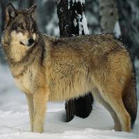 Tại sao con người không thuần hóa được chó sói?