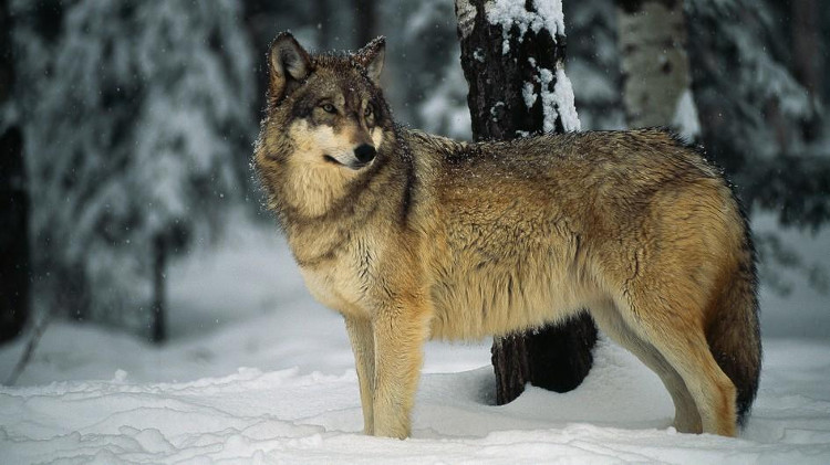 Chó sói không thể thuần hóa