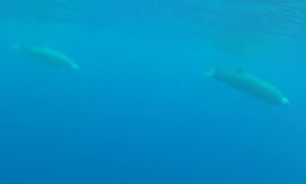 Cá voi mũi khoằm (mõm khoằm) là một trong những sinh vật vô cùng đặc biệt.