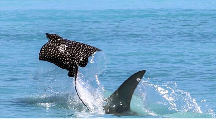 Cá đuối ó sao vài lần bay vọt lên khỏi mặt nước nhưng chính động tác cuối cùng đã giúp nó bảo toàn mạng sống.