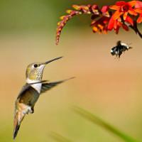 Loài chim ruồi tìm bạn tình như thế nào?