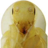 Loài gián mới trông như sinh vật ngoài hành tinh ở Việt Nam