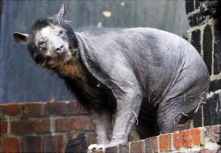 Bức ảnh chú gấu trụi lông do bị stress nặng là một trong những bức ảnh gây ám ảnh người xem nặng nề.
