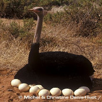 Vỏ trứng hóa thạch của đà điểu khẳng định thuyết trôi dạt lục địa