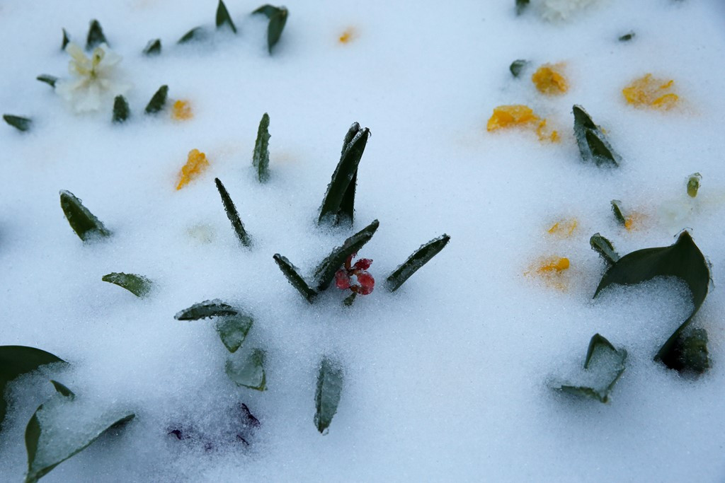 Tuyết phủ kín những bông hoa tại Công viên Trung tâm, New York.