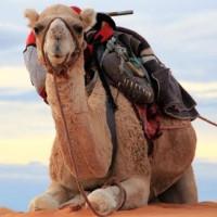 Ả Rập Saudi nhập khẩu lạc đà từ Úc và những sự thật khiến bạn giật mình