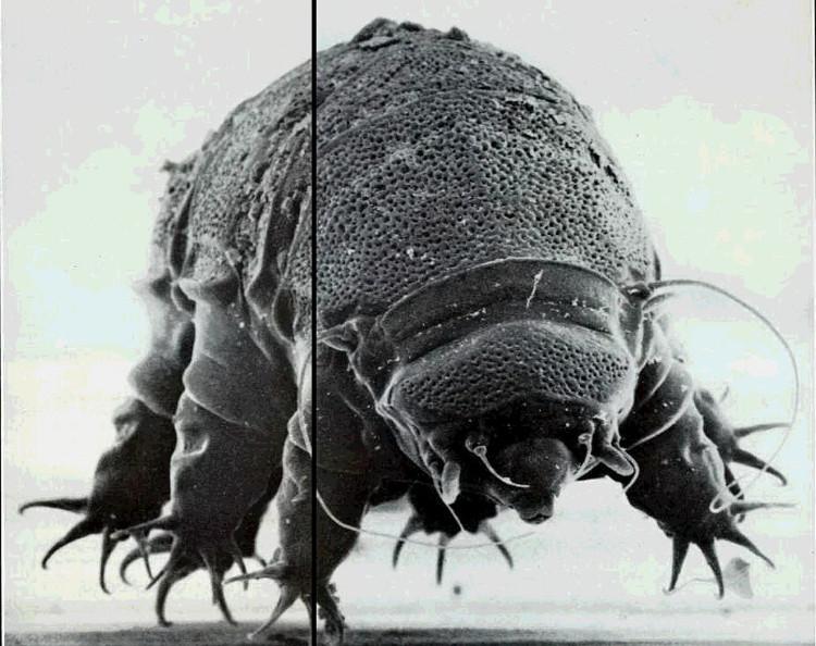 Tardigrade hay còn gọi là bọ gấu nước.