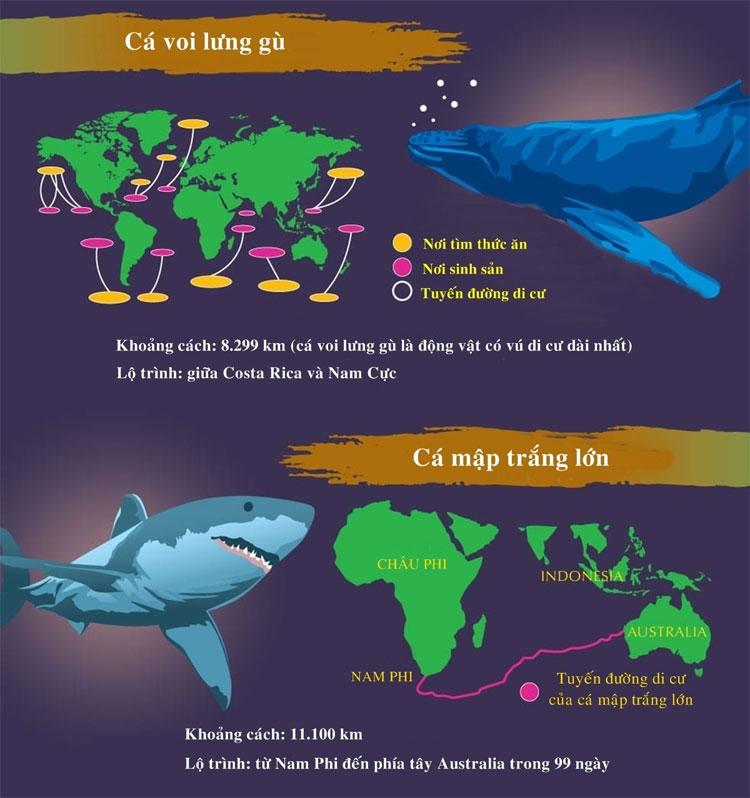 Cá mập trắng lớn có tuyến đường di cư từ Nam Phi đến Tây Australia trong 99 ngày.