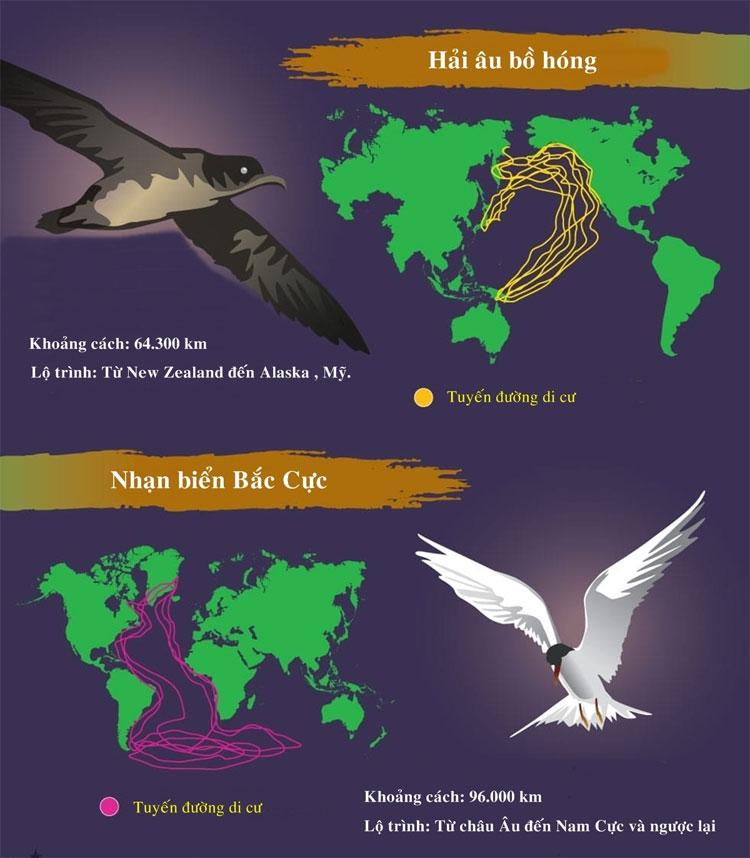 Nhạn biển Bắc Cực là loài động vật có quãng đường di cư dài nhất thế giới lên đến 96.000km.