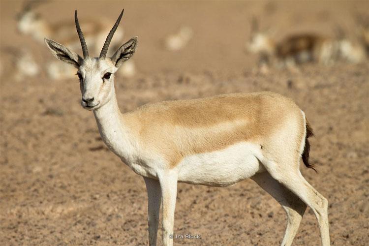 Linh dương Gazelle