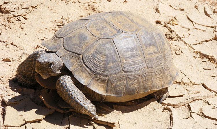Rùa cạn trên sa mạc