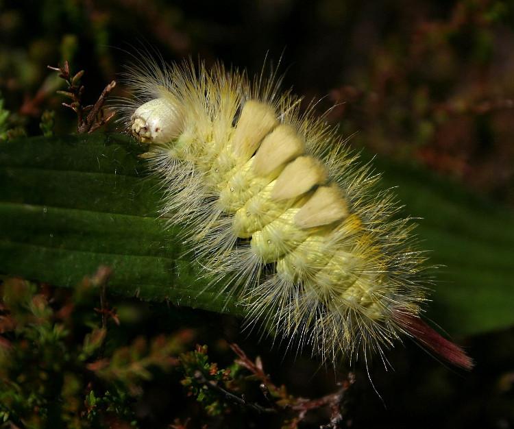 Loại này sống chủ yếu ở Đan Mạch và được xem như một trong những côn trùng phá hoại nguy hiểm nhất