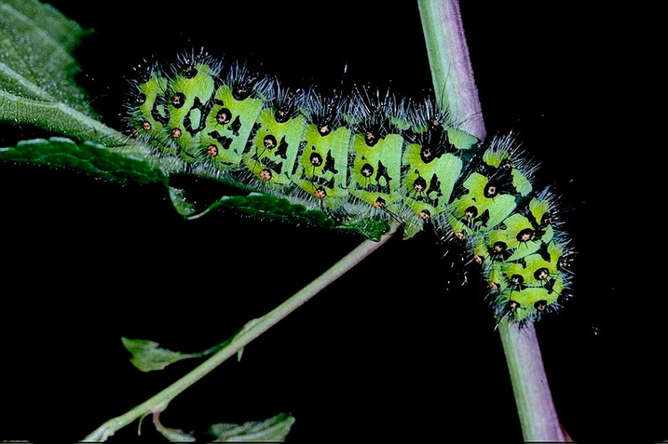 Loài côn trùng được tìm thấy ở Nam Mỹ này khiến người xem thực sự kinh ngạc bởi màu sắc trên cơ thể của nó.