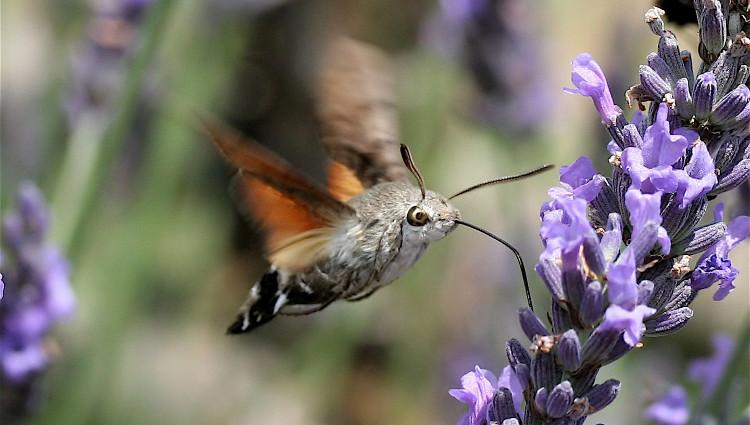 Mới nhìn, mấy chế sẽ nghĩ đó là một chú chim bé xíu xíu. Nhưng hóa ra lại là một con bướm có cái đầu y hệt chú chim.