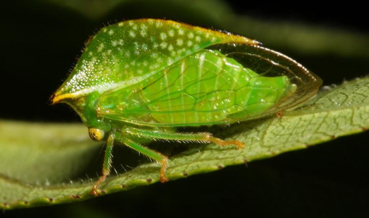 Đây quả là côn trùng có hình dạng lạ lùng nhất Quả Đất.