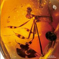 Chuồn chuồn tình tay ba kẹt 100 triệu năm trong hổ phách