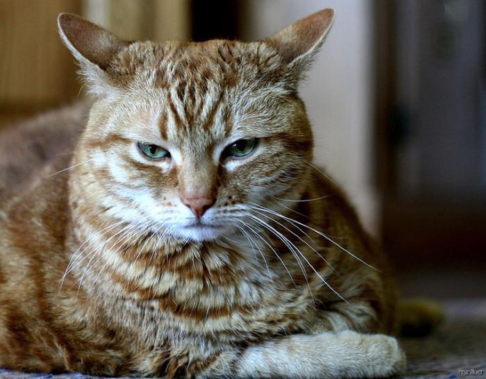 Mèo thường phát ra tiếng gừ gừ khi chúng cảm thấy dễ chịu