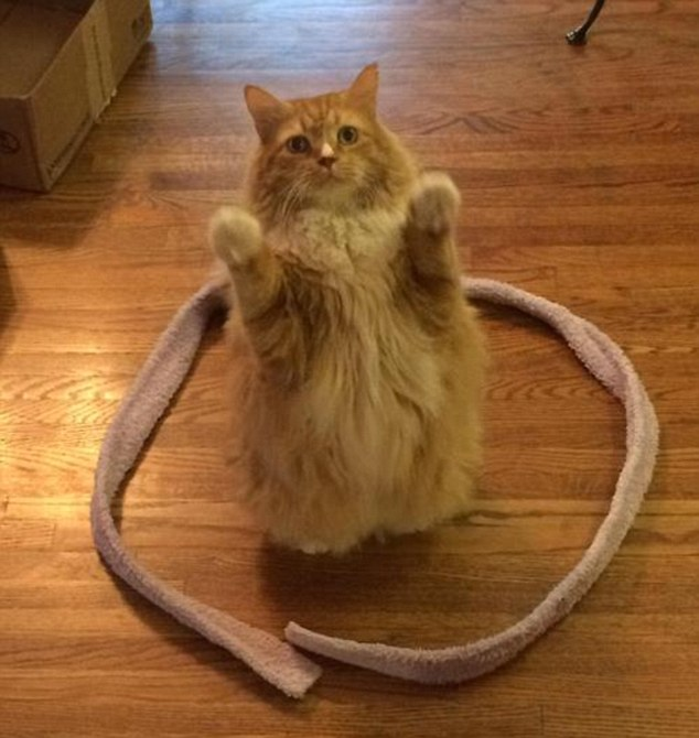 Mèo thích ngồi trong vòng tròn
