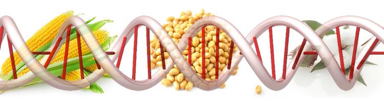 Loại thực phẩm phổ biến nhất được kể đến đó chính là ngô và đậu nành biến đổi gene.