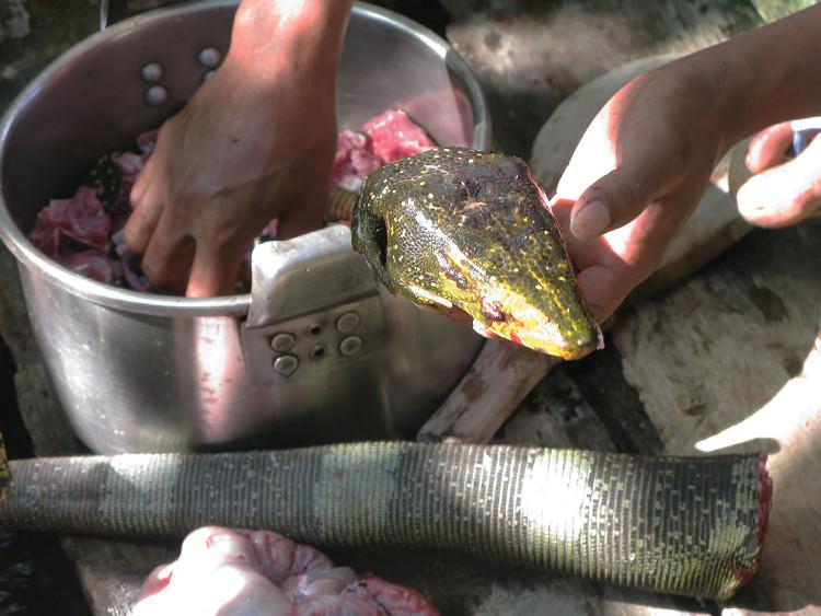 Trăn cũng là một nguồn thực phẩm cho dân Agta.