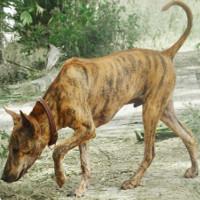 Việt Nam đang sở hữu một trong những loài chó hiếm và đắt nhất trên thế giới