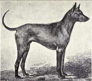 Chó Phú Quốc nổi tiếng thông minh, dễ dạy và trung thành với chủ nhân.