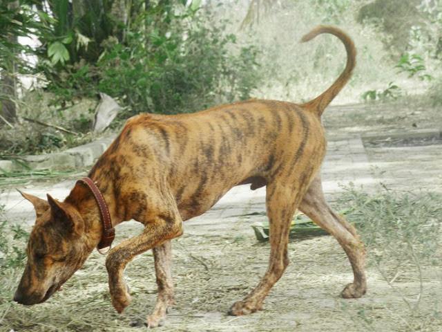 Chó Phú Quốc - Một trong những loài hiếm nhất thế giới.