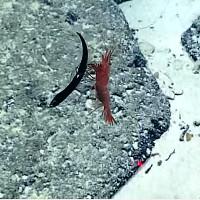 Video: Tôm biển xiên thủng bụng, xé xác cá rồng trong nháy mắt