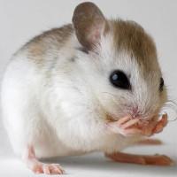 Cách giúp bạn tiêu diệt chuột nhanh chóng mà không cần dùng thuốc