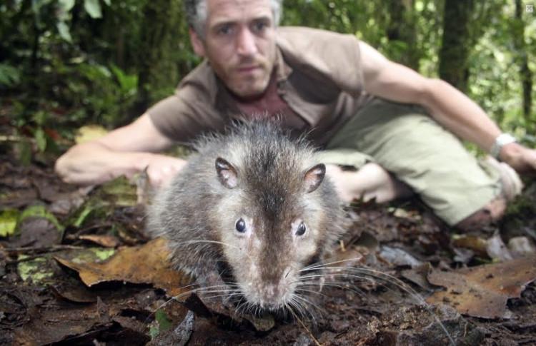 Loài chuột này không hề sợ con người.