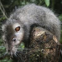 Phát hiện loại chuột khổng lồ ở Papua New Guinea