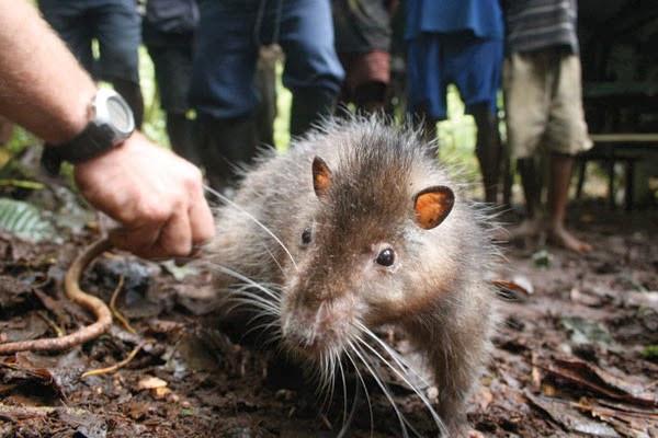 Chuột Bosavi có hình dạng giống như những con chuột cống ở thành phố.