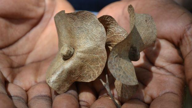 Hạt của cây Karomia Gigas, chỉ còn lại sáu cây trong tự nhiên ở Tanzania