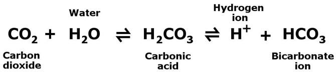 60% carbon dioxide trong cơ thể tồn tại dưới dạng ion bicarbonate.