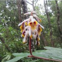 Phát hiện loài Riềng mới ở Quảng Ngãi