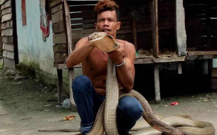 Ice, con rắn hổ mang chúa dài 4 mét, thậm chí còn bị ốm sau khi cắn Roni.