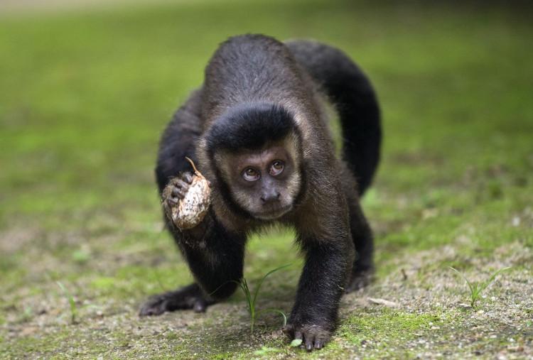 Loài khỉ ở Brazil đang có nguy cơ tuyệt chủng vì người dân tưởng nhầm chúng truyền bệnh sốt vàng da.