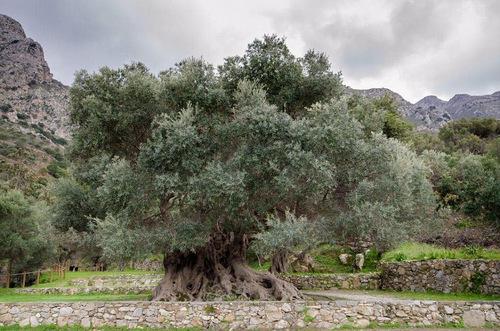 Cây ô liu cổ đại trên đảo Crete