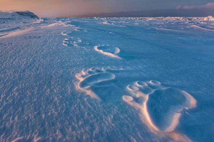 Những dấu chân khổng lồ cho thấy những chú gấu Bắc Cực lớn đã đi qua nơi này trên đảo Svalbard.