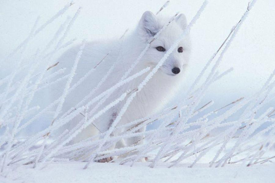 Một con cáo Bắc Cực đang giấu mình sau những đám lúa mạch bị băng tuyết phủ trắng xóa