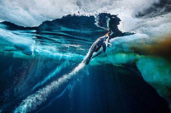 Một chú chim cánh cụt Hoàng đế đang lao mình lên mặt nước để bắt lấy con mồi tại biển Ross, Nam Cực